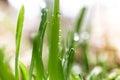 Macro shot of dew on fresh green grass at morning Royalty Free Stock Photo