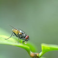 A macro shot of fly on green leaves . Live house fly .Insect clo