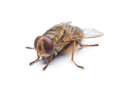 A macro shot of fly Royalty Free Stock Photo
