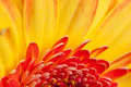 Macro shot of a gerbera daisy Royalty Free Stock Images