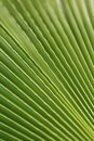 Macro shot of green palm leaf. tropical, abstract, texture, exotic.