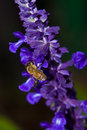 Macro shot honey bee collecting pollen mealy cup sage early fall morning Stock Photos