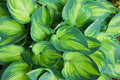 Macro shot of hosta plant Royalty Free Stock Image