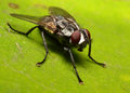 A macro shot of a house fly on a leaf Royalty Free Stock Photos