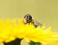 Macro shot of a hoverfly (Rhingia campestris ) sitting on a flow Royalty Free Stock Photo