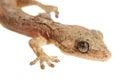 Lizard Macro