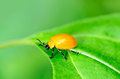 Macro shot orange leaf beetle Royalty Free Stock Photos