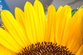Macro shot part of yellow sunflower bloom Royalty Free Stock Photo