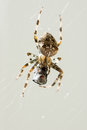 Macro shot of spider with caught prey in web Royalty Free Stock Photography