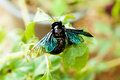 Macro shot of violet carpenter bee on green leaf in tropical forest Royalty Free Stock Image
