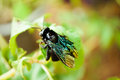 Macro shot of violet carpenter bee on green leaf in tropical forest Royalty Free Stock Photography