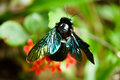 Macro shot of violet carpenter bee on green leaf in tropical forest Royalty Free Stock Photo
