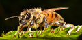 A macro shot which reveals the beauty of a bee Royalty Free Stock Photography