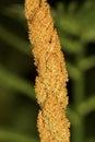 Macro of sporangia of cinnamon fern in Vernon, Connecticut. Royalty Free Stock Photo