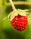 Macro strawberrie closeup on green background Royalty Free Stock Image