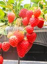 Macro of strawberry hanging farm full of ripe strawberries in st Royalty Free Stock Photo