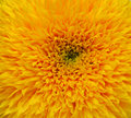 Macro Sunflower Stock Photography