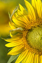 Macro sunlit sunflower Royalty Free Stock Photos
