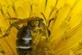 Macro Sweat Bee Royalty Free Stock Photo