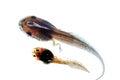 macro tadpole Royalty Free Stock Photo