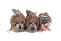 Macro three baby brood sparrow white background Stock Images