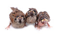 Macro three baby brood sparrow white background. Royalty Free Stock Photo
