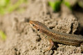 Macro of tiny lizard in the forest temperate zone Royalty Free Stock Photo