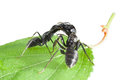 Macro two ants fighting green grass isolated white Stock Images