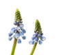 Macro of two blue grape hyacinths isolated Stock Photography