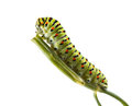 Macro of vermin caterpillar on green twig side view stem isolated white background Stock Photography