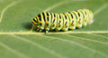 Macro of vermin caterpillar side view pest colorful on green leaf Royalty Free Stock Photography