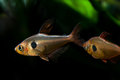 Macro view aquarium fishes. 2 Rosy Tetra against black and green background Royalty Free Stock Photo