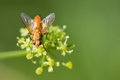 Macro view brown fly on greenery yellow flower. Selective focus, shallow depth of field Royalty Free Stock Photo