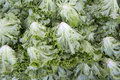 Macro view of fresh lettuces with crinkly leaves Stock Images