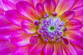 Macro view of lilac flower dahlia Stock Photography