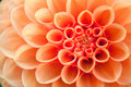 Macro view of orange flower dahlia Royalty Free Stock Photo
