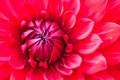 Macro view of red flower dahlia Royalty Free Stock Images