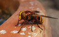 A macro of a Volucellini, Volucella zonaria Hoverfly Royalty Free Stock Photo