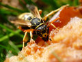 Macro wasp Royalty Free Stock Photo