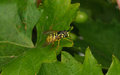 A macro of a Wasp mimic Hoverfly on a green leaf Royalty Free Stock Photo