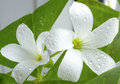 The macro of white flower oksalis with dew drops Stock Photo
