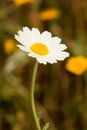 Macro of wild daisies in the field Royalty Free Stock Photo