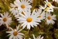 Macro of wild daisies