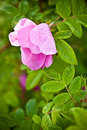 Macro wild dog rose Royalty Free Stock Photos