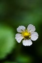 Macro of wild strawberry flower Royalty Free Stock Photo