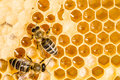 Macro of working bee on honeycells. Stock Image