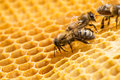 Macro of working bee on honeycells close up view the bees Royalty Free Stock Photo