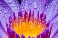 Macro Yellow Carpel Of Purple ...