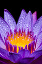 Macro yellow carpel of purple Lotus flower Royalty Free Stock Photo