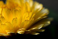 Macro of yellow flower petals Royalty Free Stock Photo